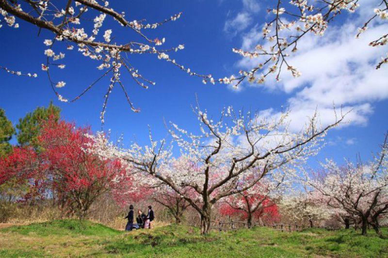 綾部市梅林公園(2月23日の開花状況を更新)